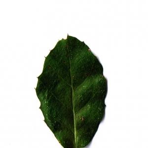 Photographie n°6247 du taxon Quercus suber L. [1753]