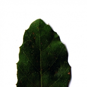 Photographie n°6248 du taxon Quercus suber L. [1753]