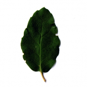 Photographie n°6249 du taxon Quercus suber L. [1753]