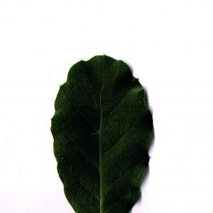 Photographie n°6250 du taxon Quercus suber L. [1753]