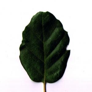 Photographie n°6251 du taxon Quercus suber L. [1753]