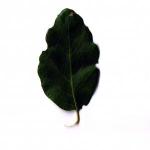 Photographie n°6252 du taxon Quercus suber L. [1753]