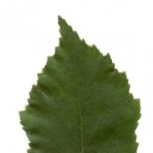 Photographie n°6268 du taxon Betula pendula Roth [1788]