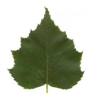 Photographie n°6269 du taxon Betula pendula Roth [1788]