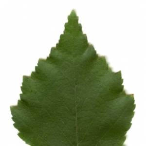 Photographie n°6270 du taxon Betula pendula Roth [1788]