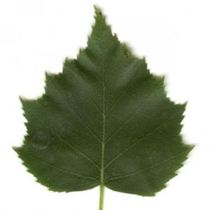 Photographie n°6271 du taxon Betula pendula Roth [1788]