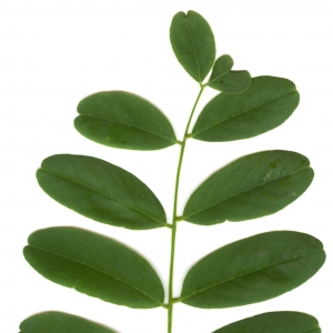Photographie n°6299 du taxon Robinia pseudoacacia L.