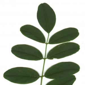 Photographie n°6300 du taxon Robinia pseudoacacia L.