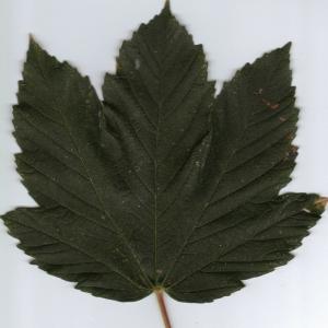 Photographie n°6337 du taxon Acer pseudoplatanus L.