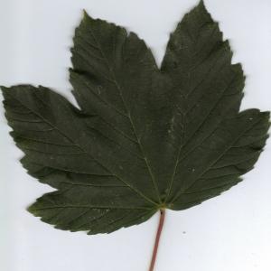 Photographie n°6338 du taxon Acer pseudoplatanus L.