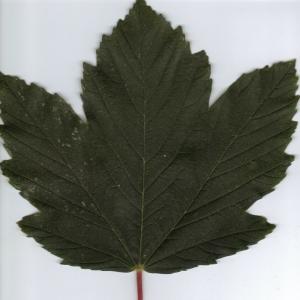 Photographie n°6339 du taxon Acer pseudoplatanus L.