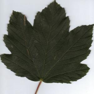 Photographie n°6340 du taxon Acer pseudoplatanus L.
