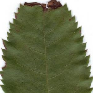 Photographie n°6341 du taxon Arbutus unedo L.