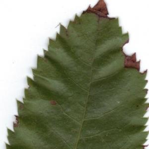 Photographie n°6342 du taxon Arbutus unedo L.