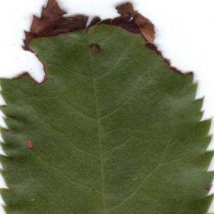 Photographie n°6344 du taxon Arbutus unedo L.