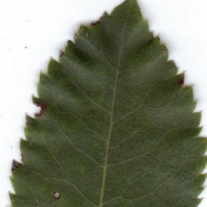 Photographie n°6345 du taxon Arbutus unedo L.