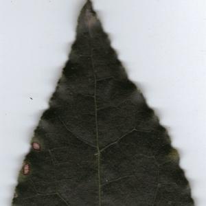 Photographie n°6361 du taxon Laurus nobilis L. [1753]