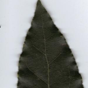 Photographie n°6363 du taxon Laurus nobilis L. [1753]