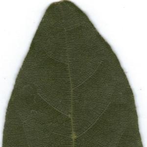 Photographie n°6364 du taxon Laurus nobilis L. [1753]