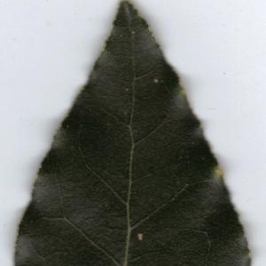 Photographie n°6365 du taxon Laurus nobilis L. [1753]