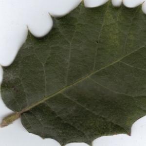Photographie n°6367 du taxon Quercus ilex L. [1753]