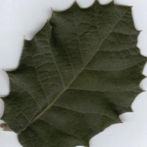 Photographie n°6368 du taxon Quercus ilex L. [1753]