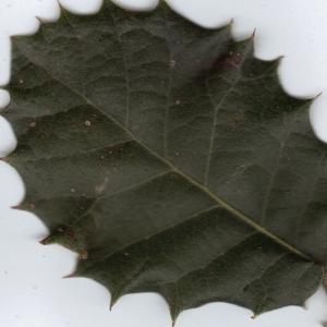 Photographie n°6369 du taxon Quercus ilex L. [1753]