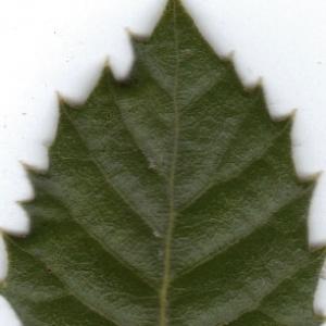 Photographie n°6370 du taxon Quercus ilex L. [1753]