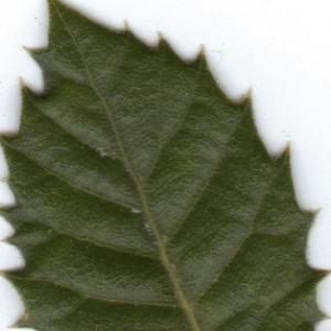 Photographie n°6372 du taxon Quercus ilex L. [1753]