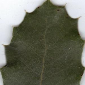 Photographie n°6373 du taxon Quercus ilex L. [1753]