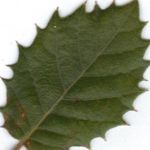 Photographie n°6374 du taxon Quercus ilex L. [1753]