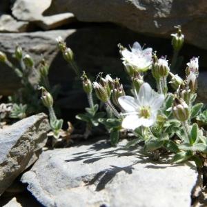 Minuartia cerastiifolia (Ramond ex DC.) Graebn. (Minuartie à feuilles de céraiste)