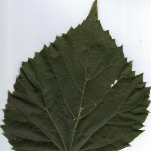 Photographie n°6399 du taxon Tilia x europaea L. [1753]