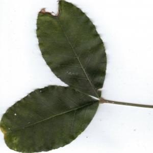 Photographie n°6403 du taxon Ceratonia siliqua L. [1753]