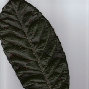 Photographie n°6404 du taxon Eriobotrya japonica (Thunb.) Lindl. [1821]
