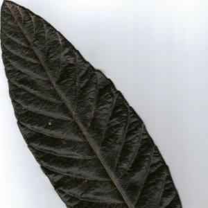 Photographie n°6405 du taxon Eriobotrya japonica (Thunb.) Lindl. [1821]