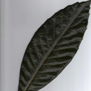 Photographie n°6406 du taxon Eriobotrya japonica (Thunb.) Lindl. [1821]