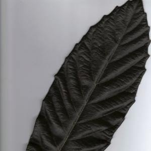 Photographie n°6407 du taxon Eriobotrya japonica (Thunb.) Lindl. [1821]