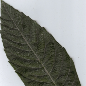 Photographie n°6408 du taxon Eriobotrya japonica (Thunb.) Lindl. [1821]