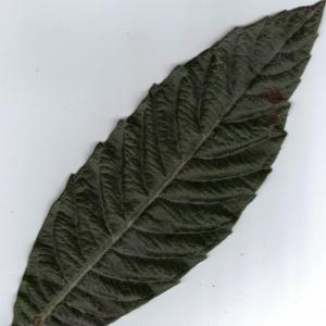 Photographie n°6409 du taxon Eriobotrya japonica (Thunb.) Lindl. [1821]