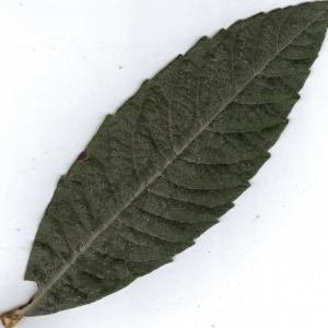 Photographie n°6410 du taxon Eriobotrya japonica (Thunb.) Lindl. [1821]