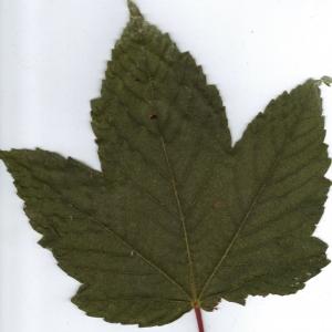 Photographie n°6467 du taxon Acer pseudoplatanus L.