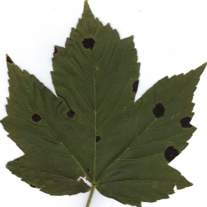 Photographie n°6469 du taxon Acer pseudoplatanus L.