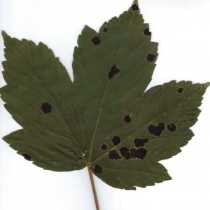 Photographie n°6471 du taxon Acer pseudoplatanus L.