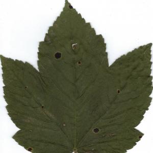 Photographie n°6472 du taxon Acer pseudoplatanus L.