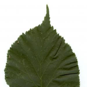 Photographie n°6473 du taxon Tilia x europaea L. [1753]