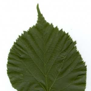 Photographie n°6474 du taxon Tilia x europaea L. [1753]