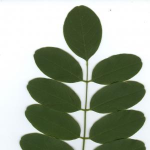 Photographie n°6490 du taxon Robinia pseudoacacia L.