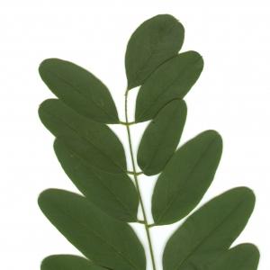 Photographie n°6491 du taxon Robinia pseudoacacia L.