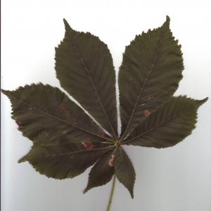 Photographie n°6492 du taxon Aesculus hippocastanum L.